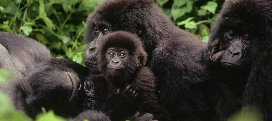 Gorilla Groups in Congo, Virunga National Park, Gorilla Tracking, Gorilla Families
