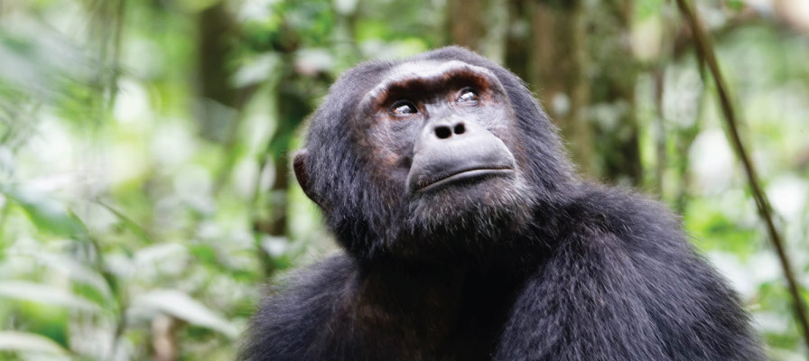 Chimpanzee habituation experience CHE in kibale forest national park uganda
