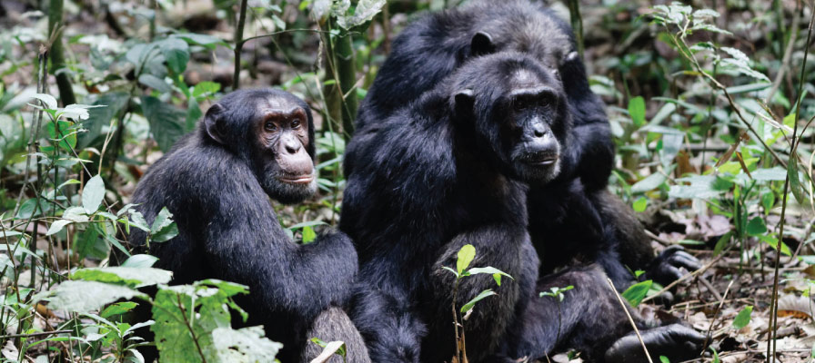 Uganda Chimpanzee Tracking Tours