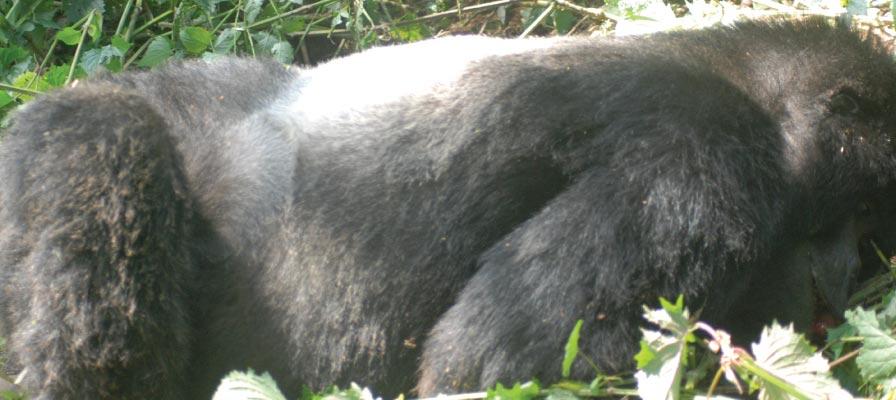 Ndahura Silverback Gorilla Found Dead