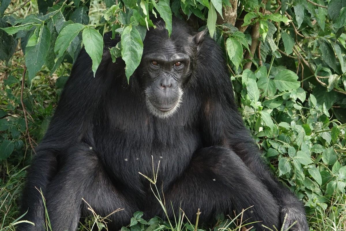 chimapnzee