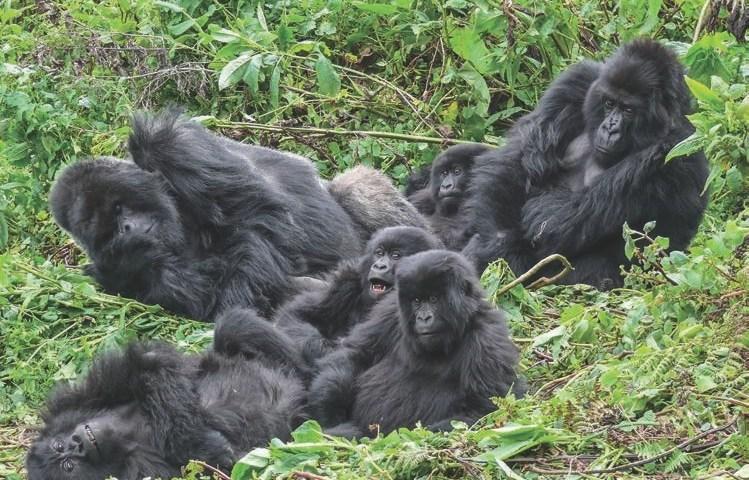 silverback gorilla trekking Uganda