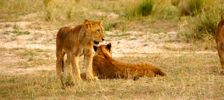 Uganda Primates Habituation & Lions Tracking Safari