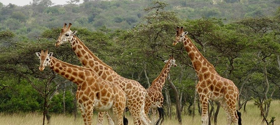 Savannah Safari in Murchison Falls National Park