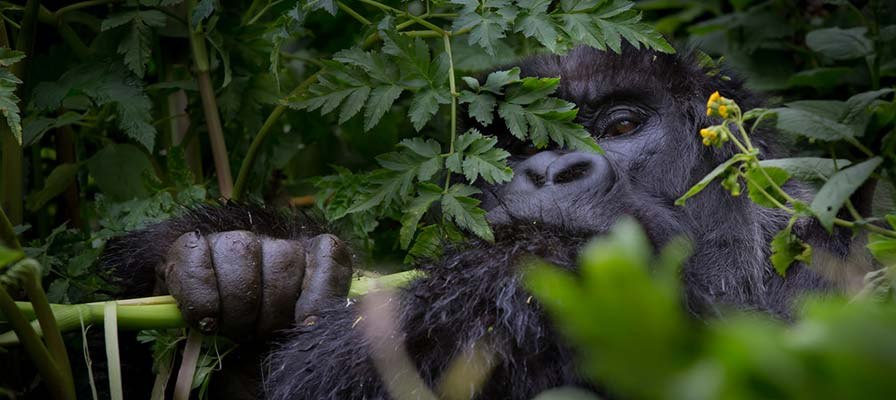African gorilla trekking in Bwindi