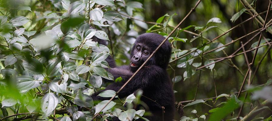 Gorilla & Golden Monkey Experiential Safari