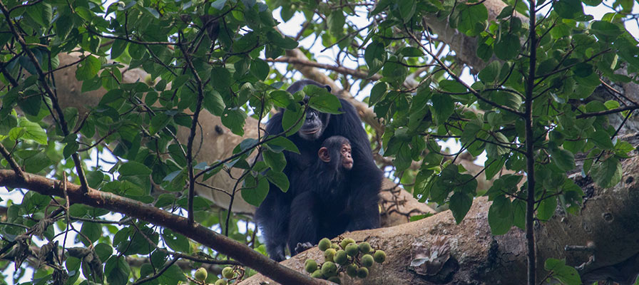 primates in Nyungwe forest