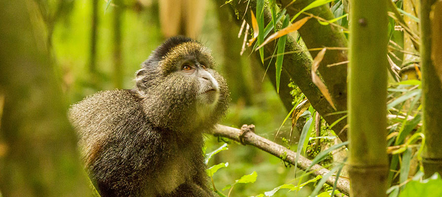 Golden monkey habituation exercise in Mgahinga Gorilla National Park