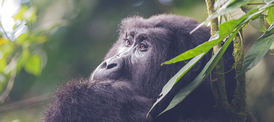 Uganda Gorillas & Chimpanzee Habituation Safari