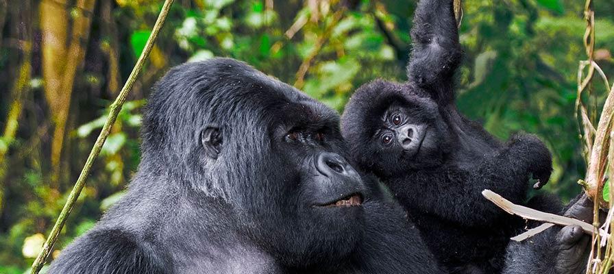 Primates & Gorilla Tour