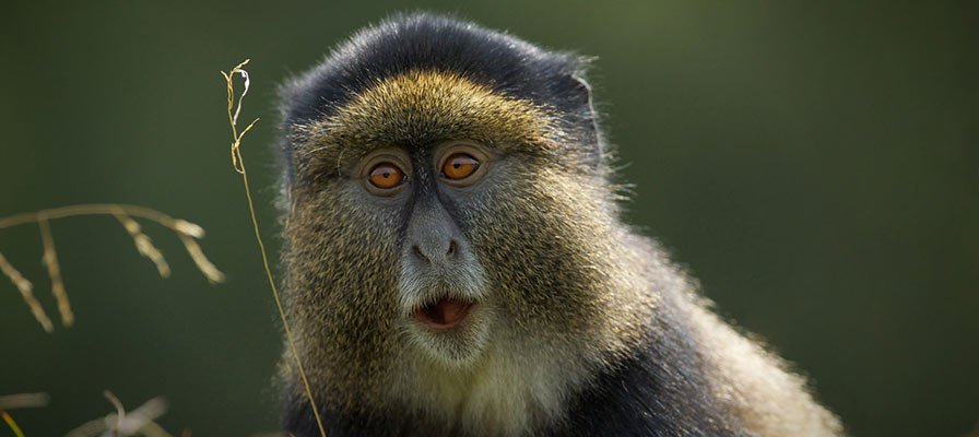 Chimps, Gorilla & Golden Monkey Habituation Experience