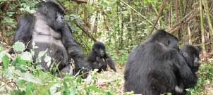 Animated Gorillas and Wildlife Safari