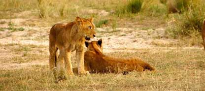 Uganda Primates Habituation & Lions Tracking Safari