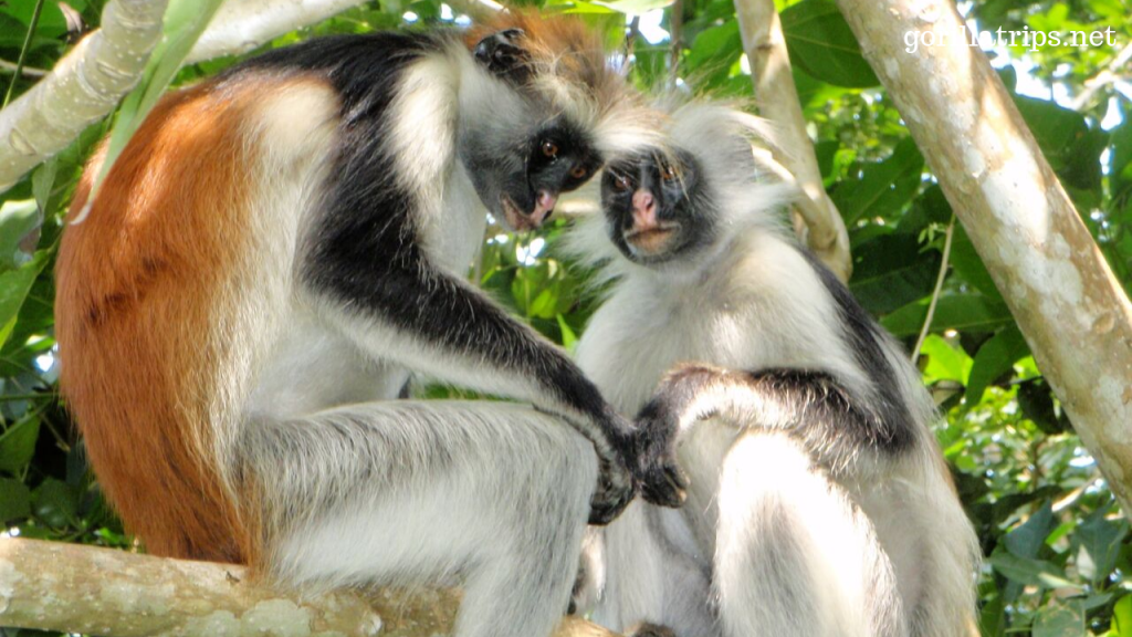Red Colobus Monkey in Uganda