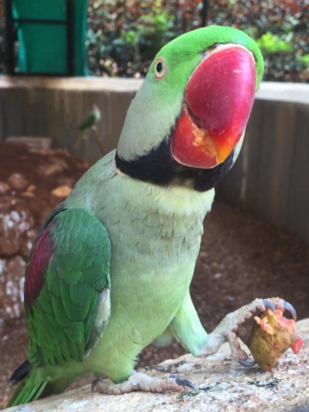 Alexandrine parakeet, Goa
