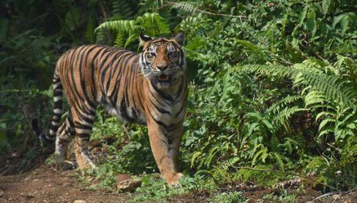 BKSDA Pasang Perangkap untuk Tangkap Harimau yang Masuk ke Pemukiman Warga