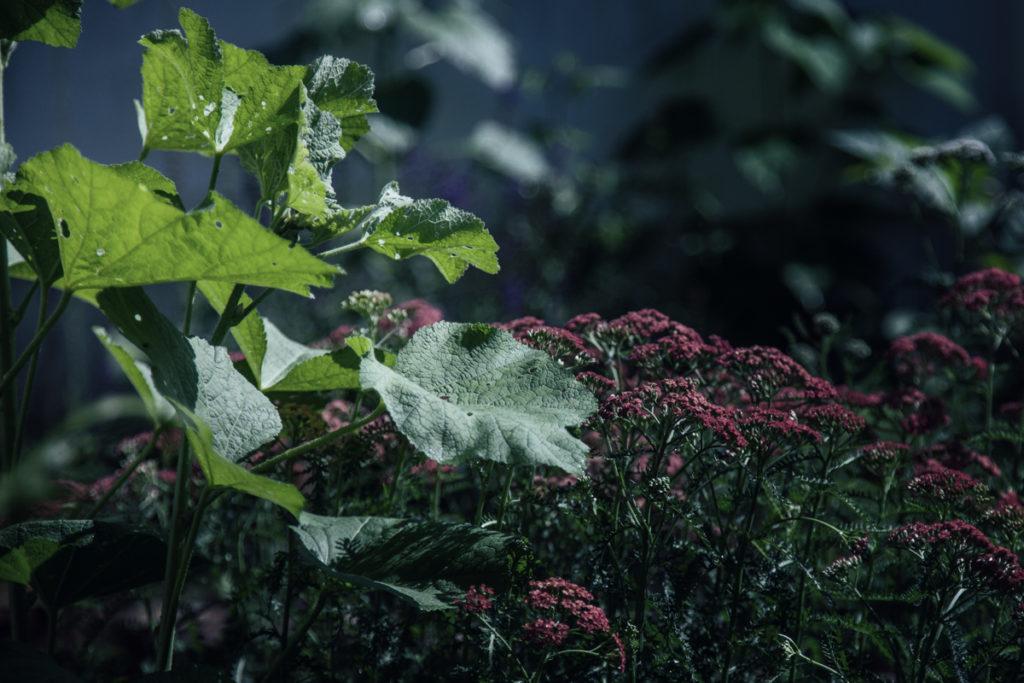 Hollyhock leaves before blooming