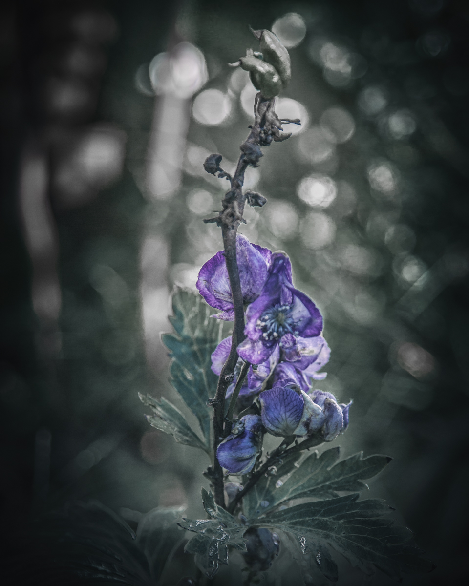 Monkshood in the witch's garden