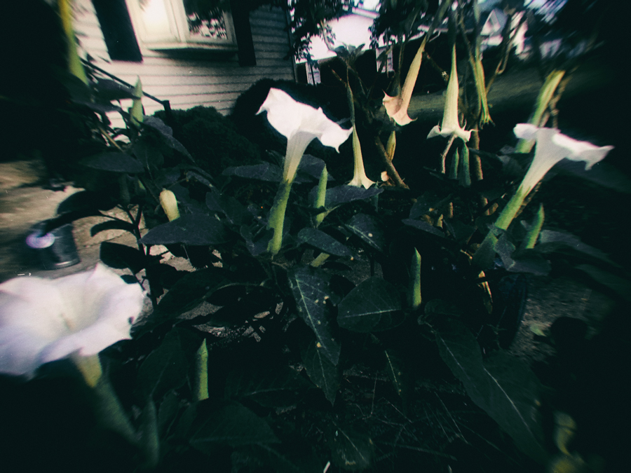 The bright was blooms of Datura, also known as Devil's Trumpets mix for an amazing cacophony of scent with Angel's Trumpets or Brugmansia (rear) on summer's evenings. Night blooming plants make for a nocturnal blessing in a witch's garden.