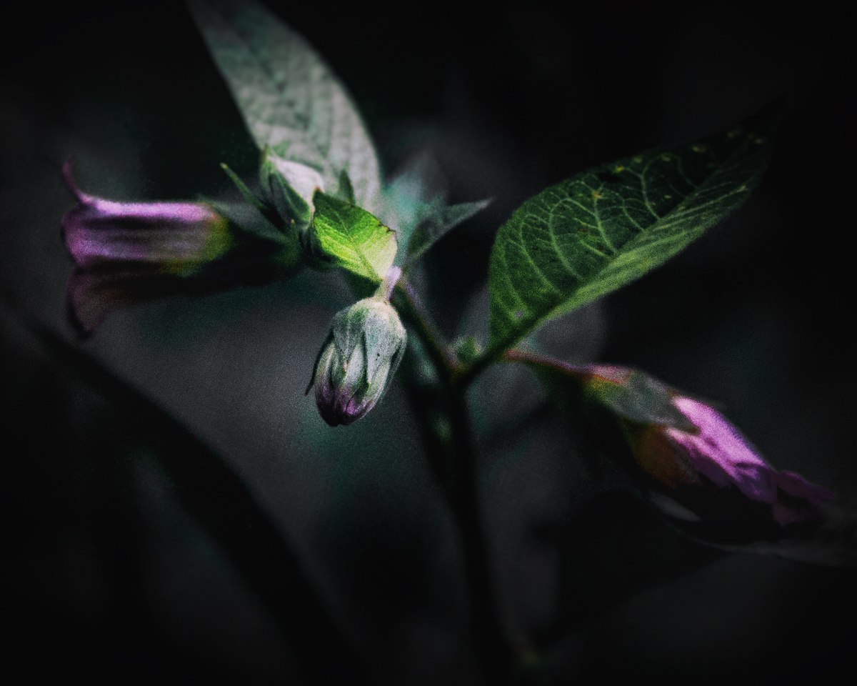 Belladonna or Deadly Nightshade in the WItch's Garden