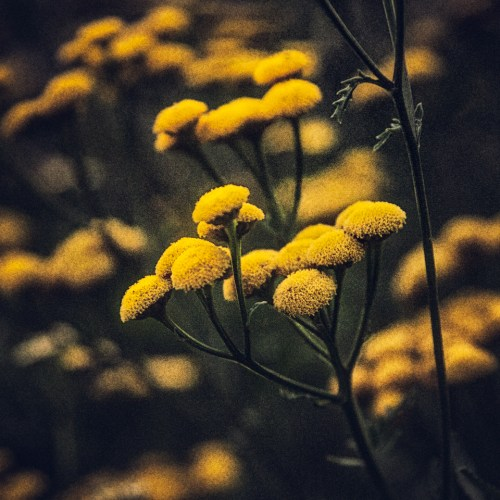 Tansy in Bloom, August 9, 2014, The Witch's Garden, Carmi, Illinois