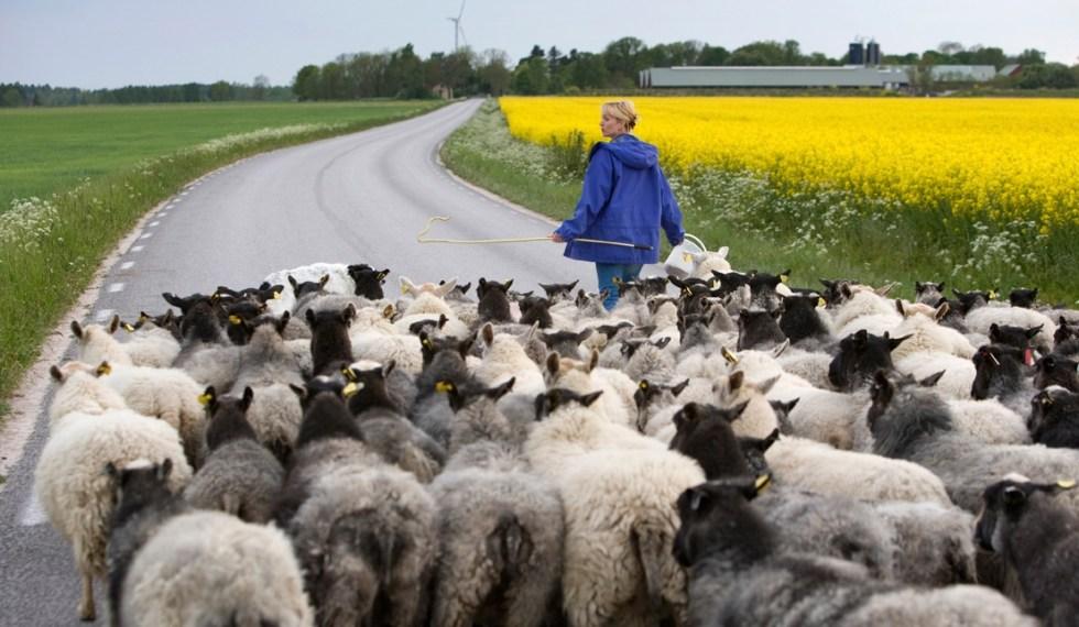 Fårskinn och lammskinn från Gotland kommer från bland annat Gotlandsfår, Leicester och korsningar.