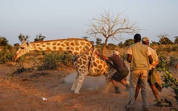 Giraffe Conservation Safari Credit Wilderness Travel