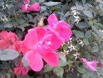 Pantech Breakout Rose Image