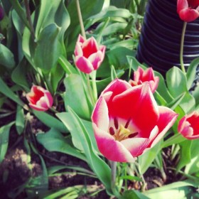 instagram android tulips