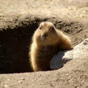 Image of groundhog