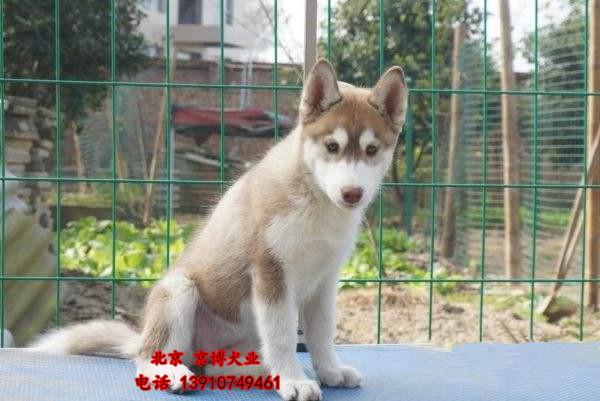 賽級精品哈士奇出售 3個月哈士奇幼犬價格 純種哈士奇犬舍_北京哈士奇 _狗鋪子