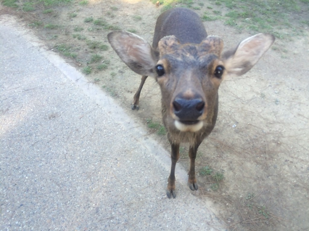 The curious deer in Nara wander the street looking for snacks!