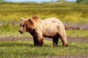Our Top Pick for an Adventure: Bear Viewing in Alaska with Smokey Bay Air