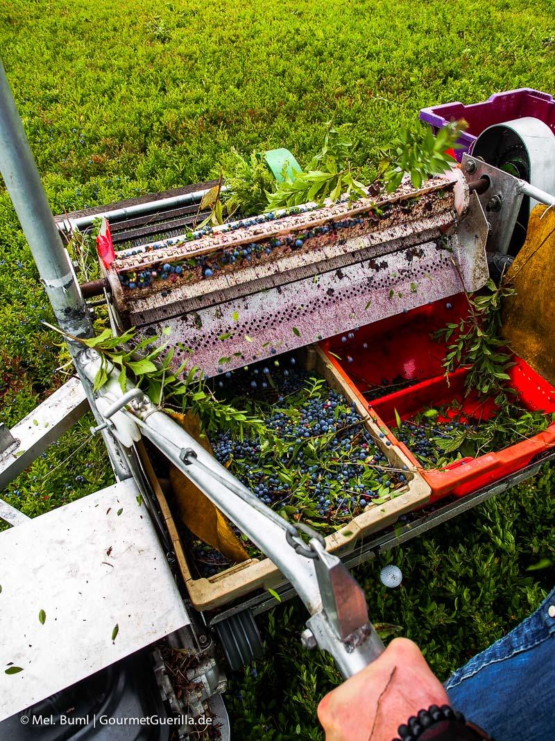 Kanada Nova Scotia Ernte vin Wilden Blaubeeren mit Muskelkraft und kleiner Erntemaschine |GourmetGuerilla.de