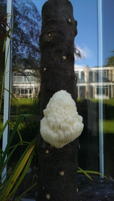 Lions Mane Mushroom Plug Spawn