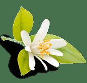 Fleur d'oranger détourée