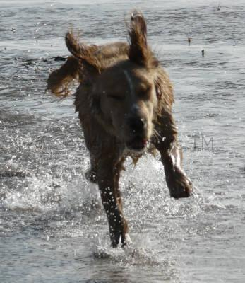 A dog running in the sea on Gower