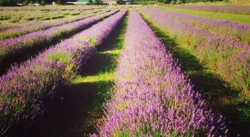 Wolds Way Lavender