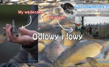 Odłowy i łowy na stawach w Skoroszowie