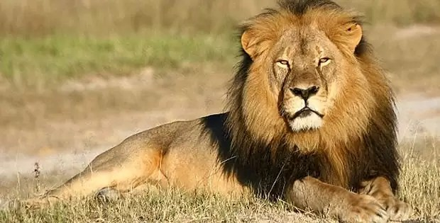 animal selvagem leão