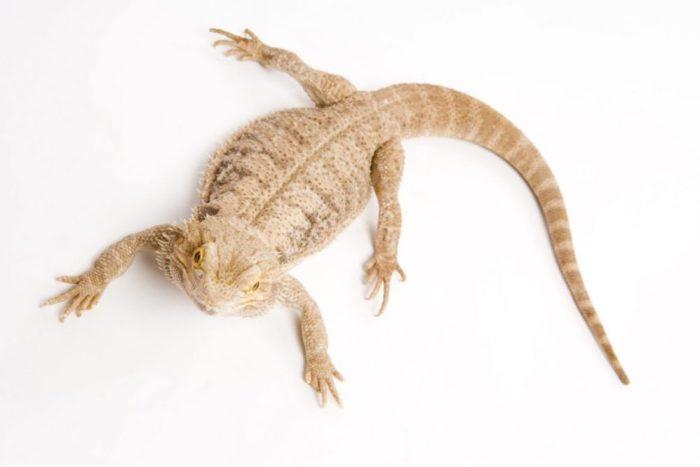 tipos de lagartos