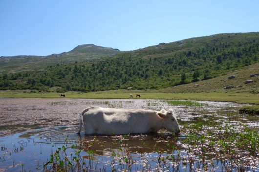 Cow cooling down in Lac de Nino - GR20