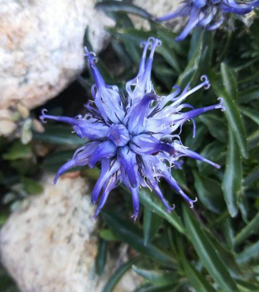 La flore en montagne - Corse