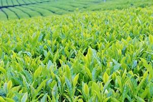【ヒルナンデス/東海道五十三次】マルヨシ近江茶のほうじ茶シロップ(糖蜜ほうじ)