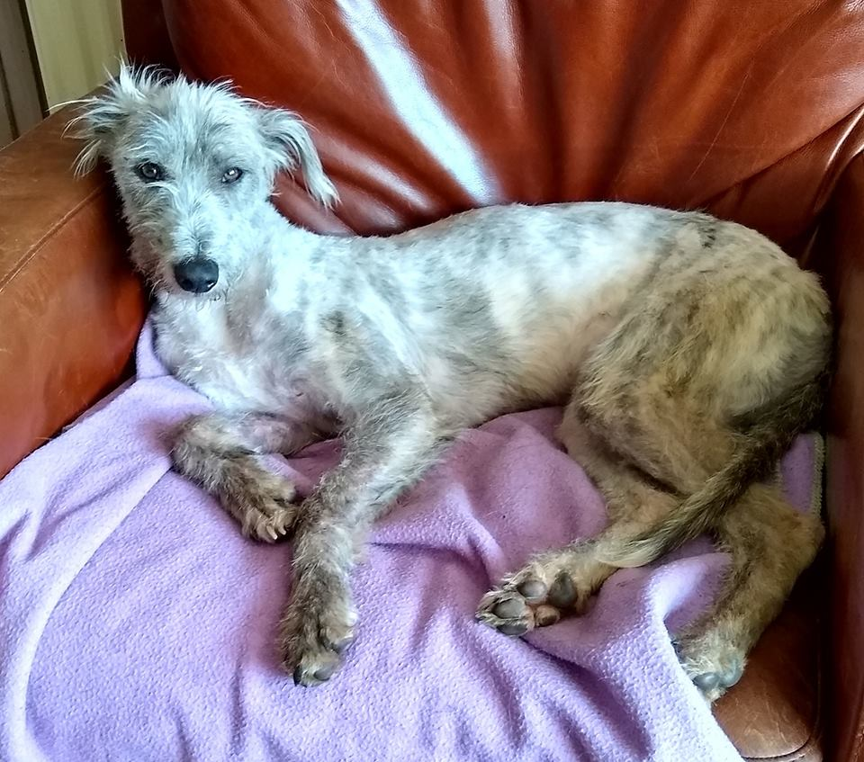 Rosie (Lurcher) [NB: Out at trial home]