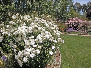 Iceberg and Clair Matin Roses