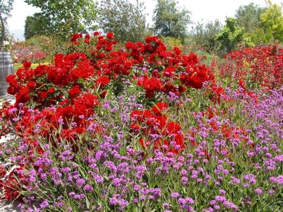 Sevillana Rose and Verbena rigida