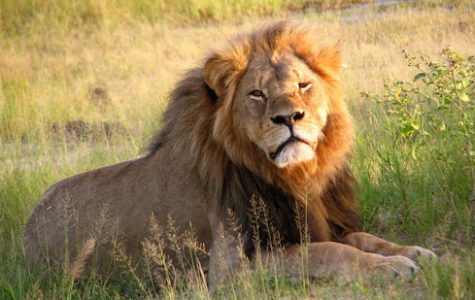 Walter Palmer Won't Be Charged For Cecil the Lion's Death