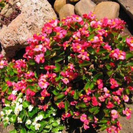 begonia alba si rosie, plantate in gradina
