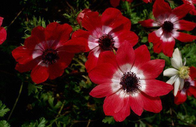 distanta plantare rosii